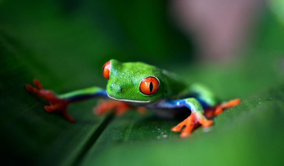 Tropical frog in Costa Rica, Nature Tourism