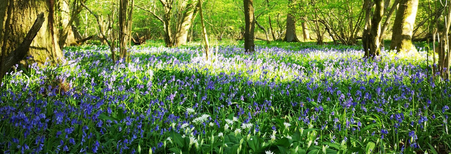bluebells in flitwick