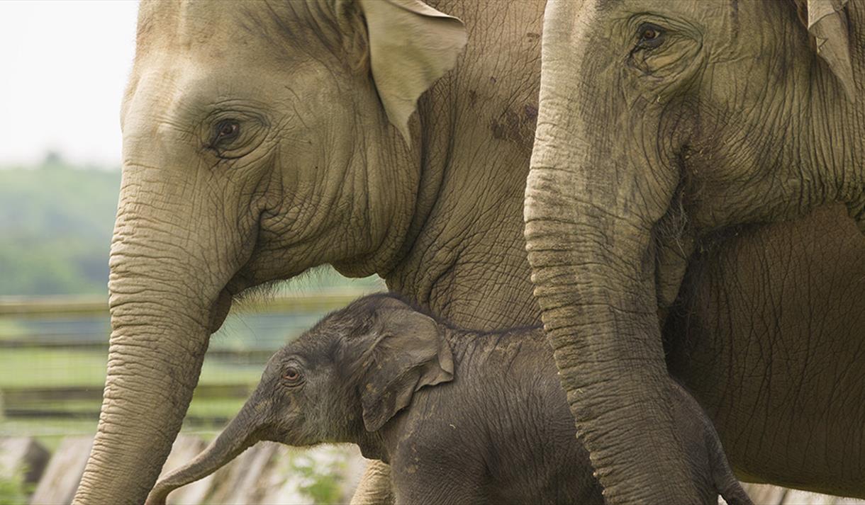 Whipsnade Zoo Elephant