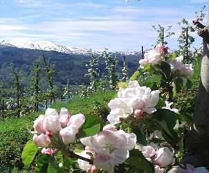 Flowering in Hardanger|
