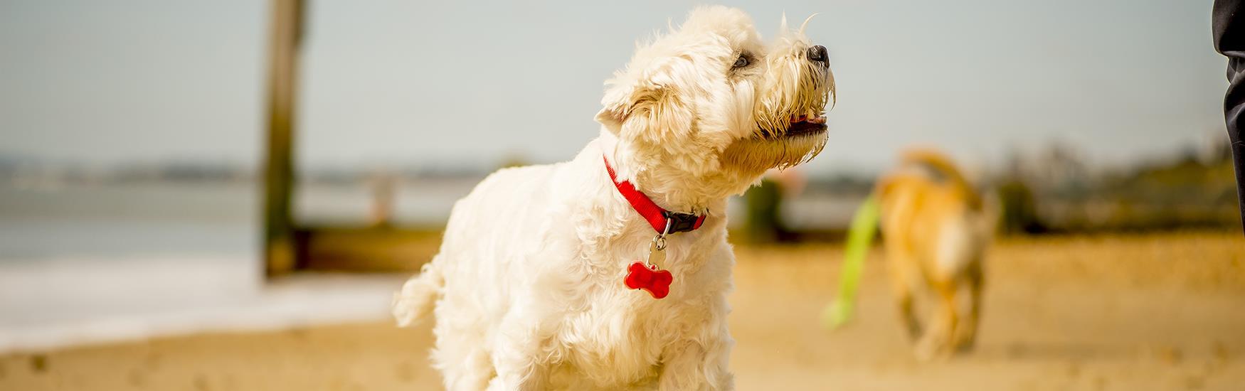 White Scotty dog running along the golden sands on Bournemouth Beach