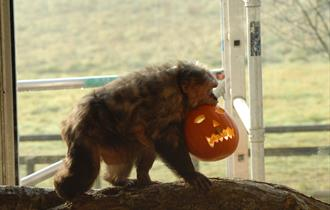 Monkey with pumpkin in mouth