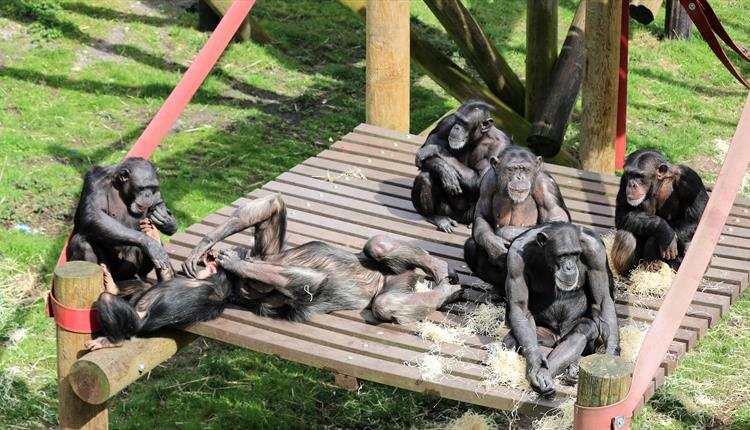 A family group of chimpanzees relaxing, playing and grooming on a platform  at monkey world