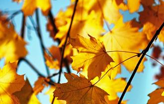 Autumnal orange leaves with a bright blue sky background.