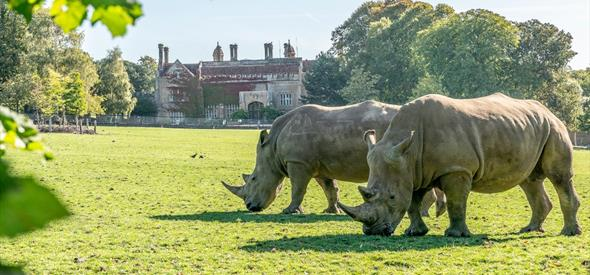 Two White Rhino's with Marwell Hall in background.