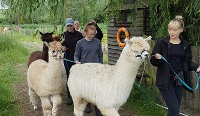 Alpaca Walking Experience (includes pygmy goats too)