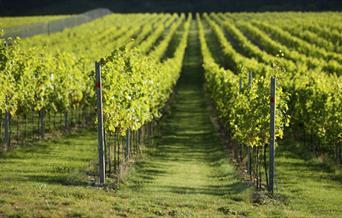 Rathfinny wine estate - vineyard