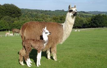 Llama with cria