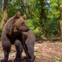 Bear at Wild Place Project