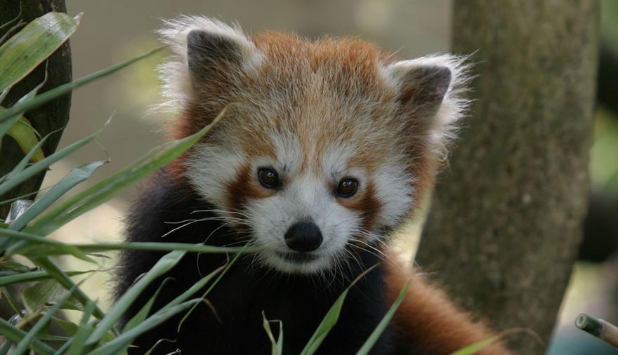 Red Panda at Bristol Zoo