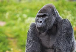 Bristol Zoo Gardens Gorilla