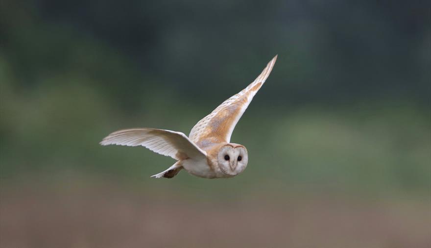 Owl at RSPB Ham Wall Nature Reserve