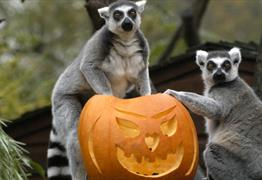 Ring Tailled Lemurs eating a Pumpkin for Skeloween at Bristol Zoo Gardens