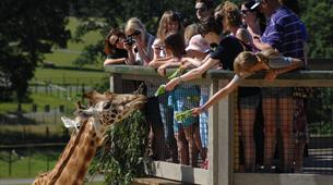 Giraffes at Longleat Safari Park