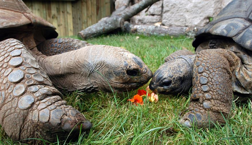 Giant tortoises at Bristol Zoo Gardens