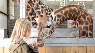 Giraffe Experience at Longleat