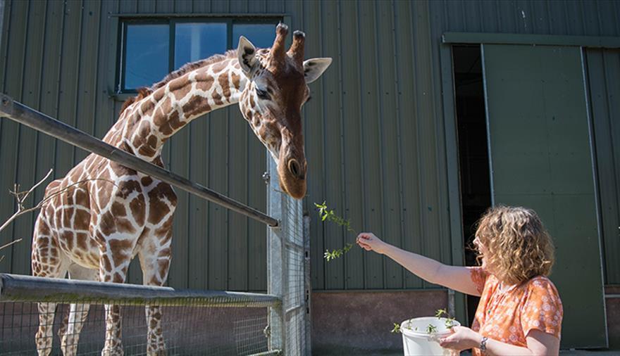 Giraffes at Noah's Ark Zoo Farm Bristol