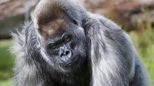 Gorilla experience Longleat