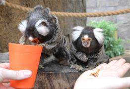 Marmosets experience at Longleat
