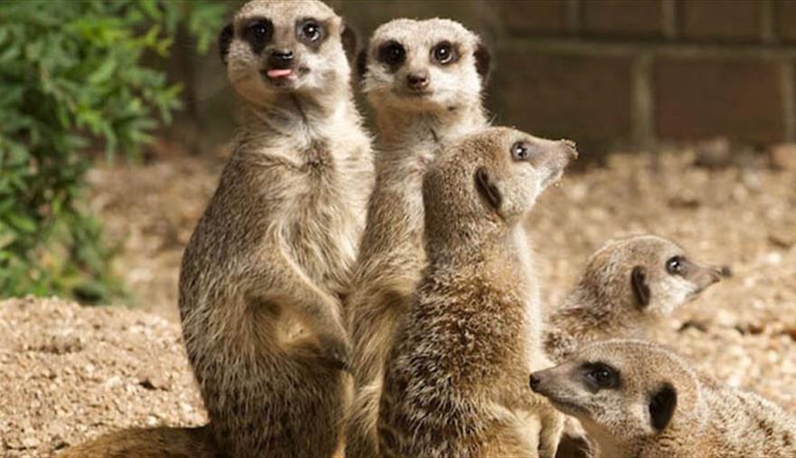 Meet the meerkats at Bristol Zoo Gardens