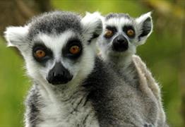 Get up close with Lemurs at Bristol Zoo Gardens