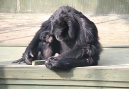 Siamang Gibbon at Noah's Ark Zoo Farm