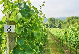 Take a Vineyard Tour with Wine Tasting at Aldwick Estate