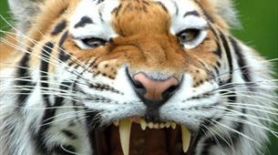 Tiger feeding experience at Longleat