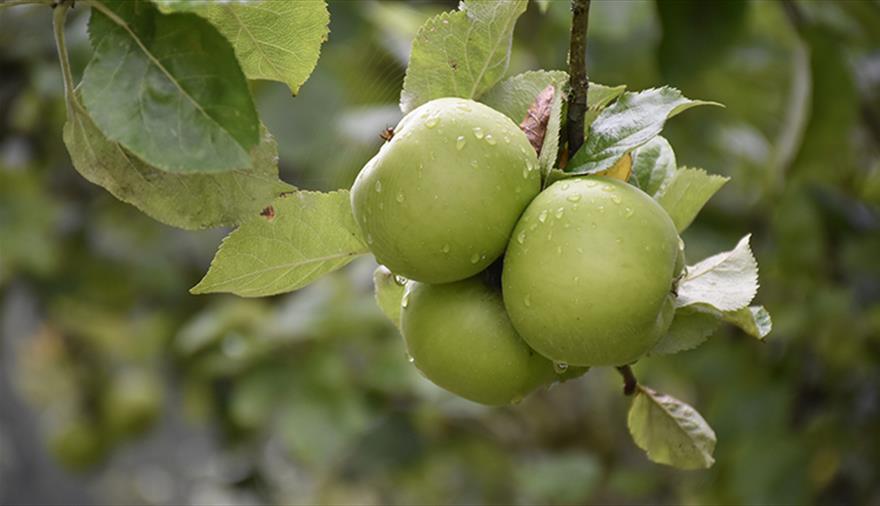 Apple Pressing at Tyntesfield