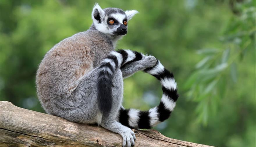 Wild Place Project Bristol: Ringtail Lemur