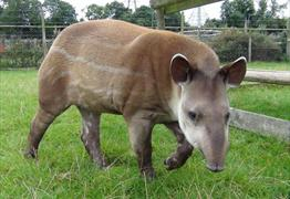 Tapirs at Noah's Ark Zoo Farm