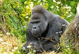 Gorilla VIP Experience at Bristol Zoo Gardens