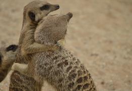 Meet the meerkats at Wild Place