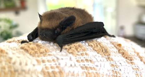 Image of the type of bat found in Northern Ireland
