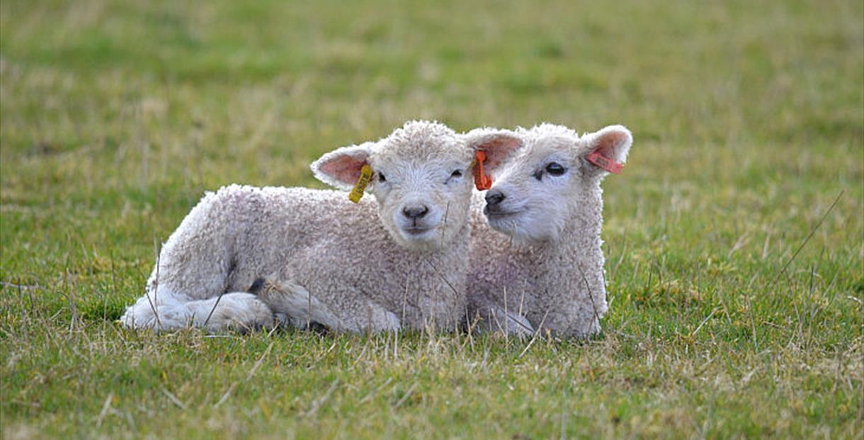 Live Lambing at Cotswold Farm Park