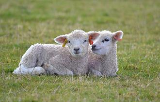 Live Lambing at Cotswold Farm Park