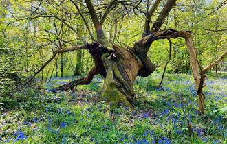 Bluebells at Combermere  Abbey