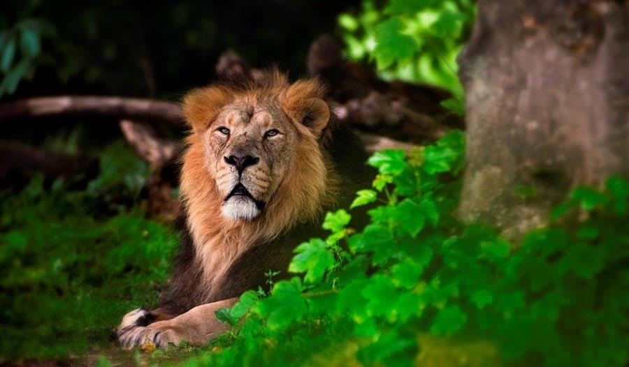 Lion at the Chester zoo
