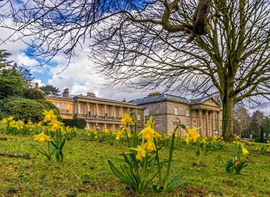 Daffodils in the Parkland at Tatton Park