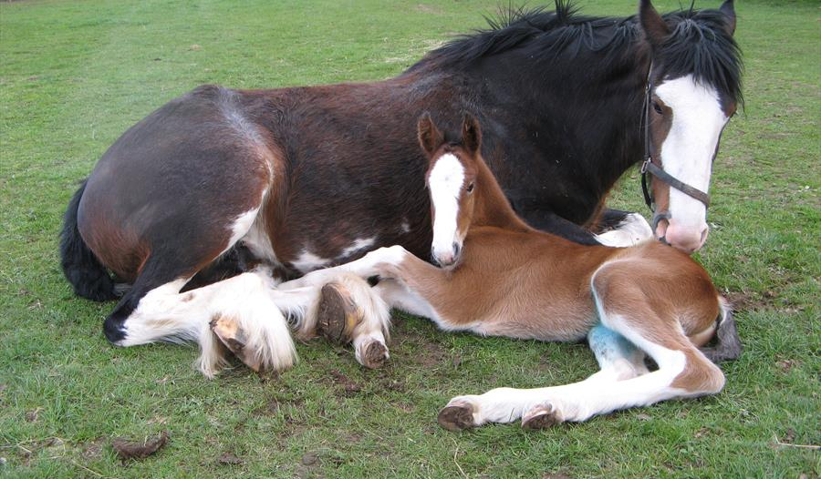 Cotebrook Charlie's Spirit and her new born foal Ben More - Cotebrook Shire Horse Centre