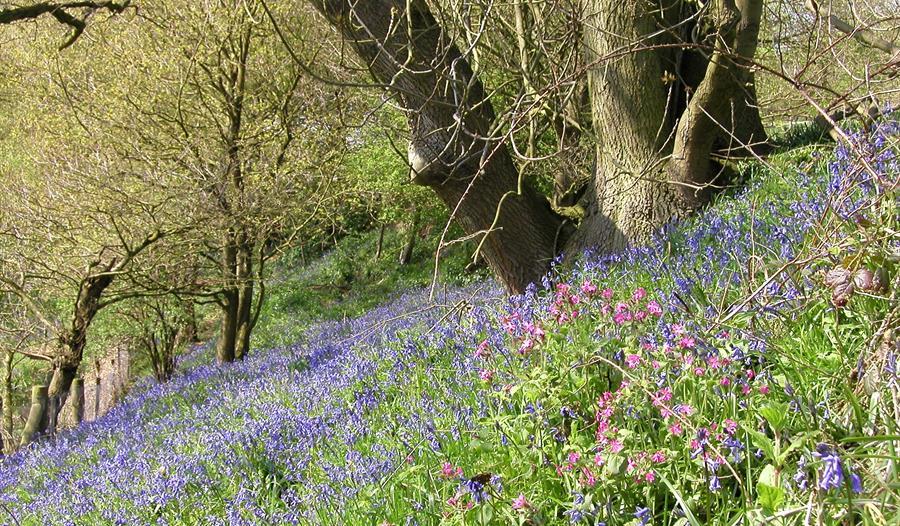 Bluebells at The Lovell Quinta Arboretum