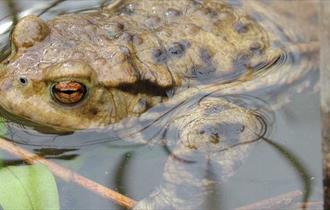 A Toad at Rixton Clay Pits