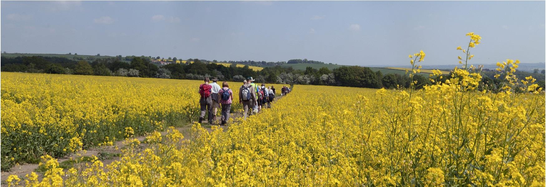 Walkers passing through a field of Oilseed Rape