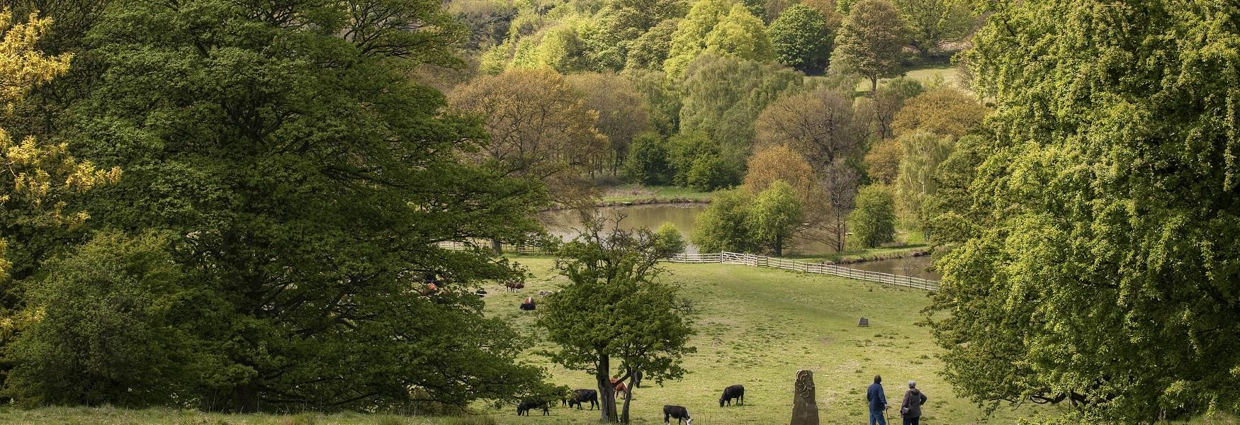 View of walkers in Hardwick Park with cattle grazing