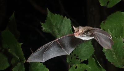 Bat Walk at Chatsworth
