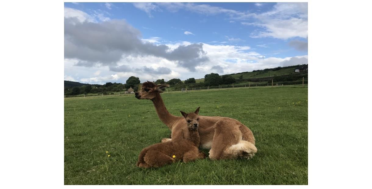 Commonside Alpacas, Barlow