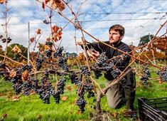 Harvesting at Renishaw Hall Vineyard