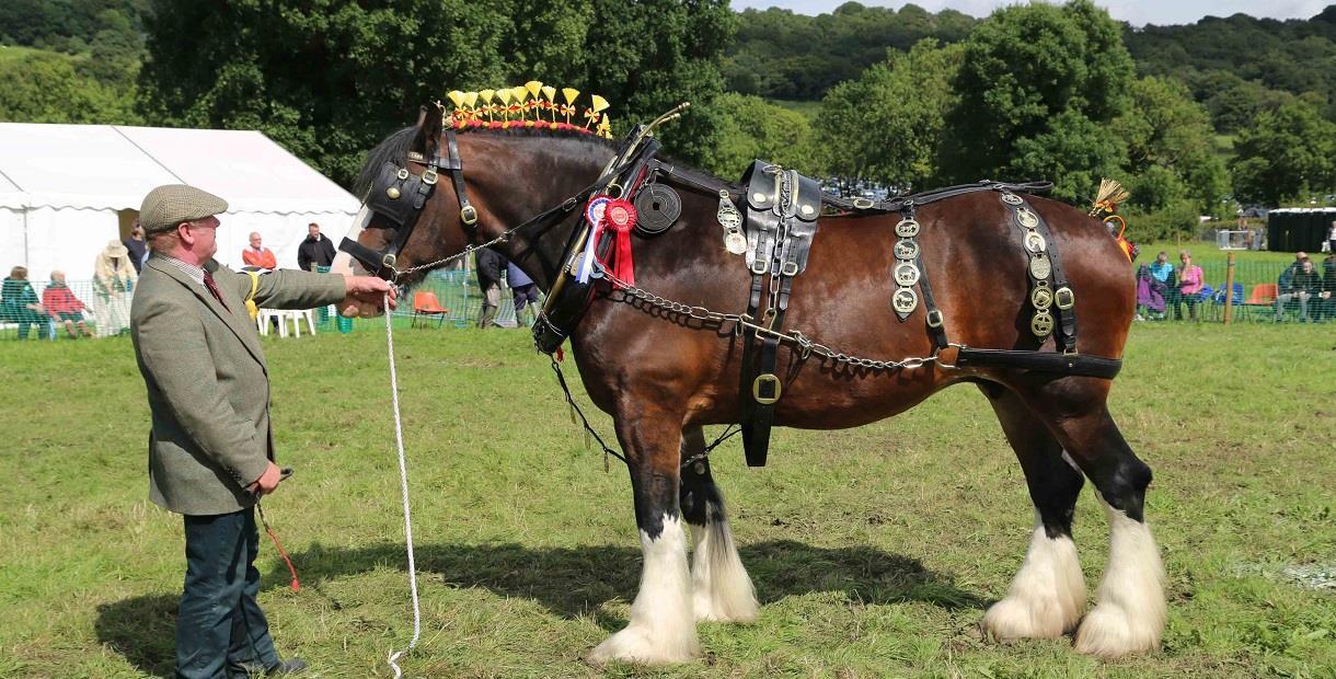 Judging Shire Horses