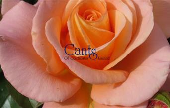 Cants of Colchester - Rose logo