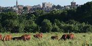 A view of Colchester Town Centre skyline behind a field of cows. Taken from High Woods Country Park